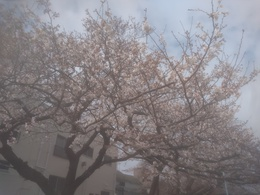 桜320.jpg