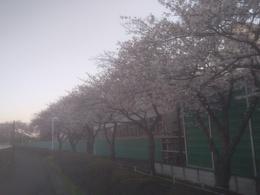 26-1桜.jpg
